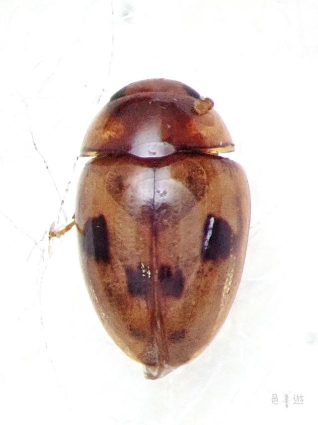 Augasmus nigromaculatus