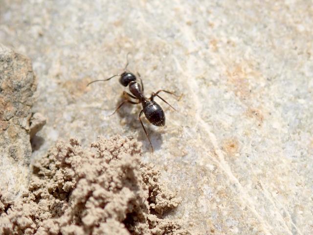 Camponotus friedae-1