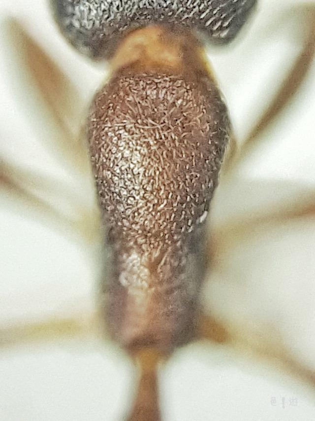 Cardiocondyla strigifrons-Mesosoma-D