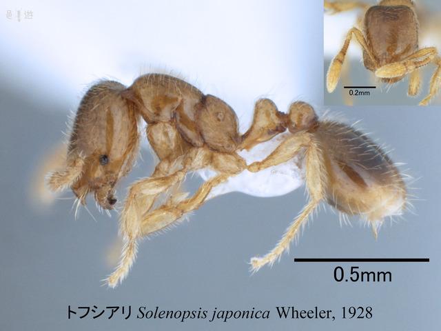 Solenopsis japonica解説用