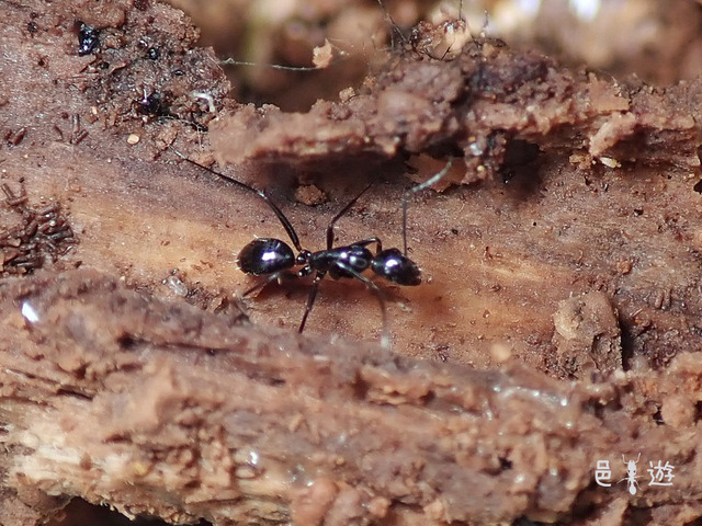 Camponotus amamianus-2