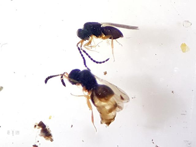 ceraphronidae1