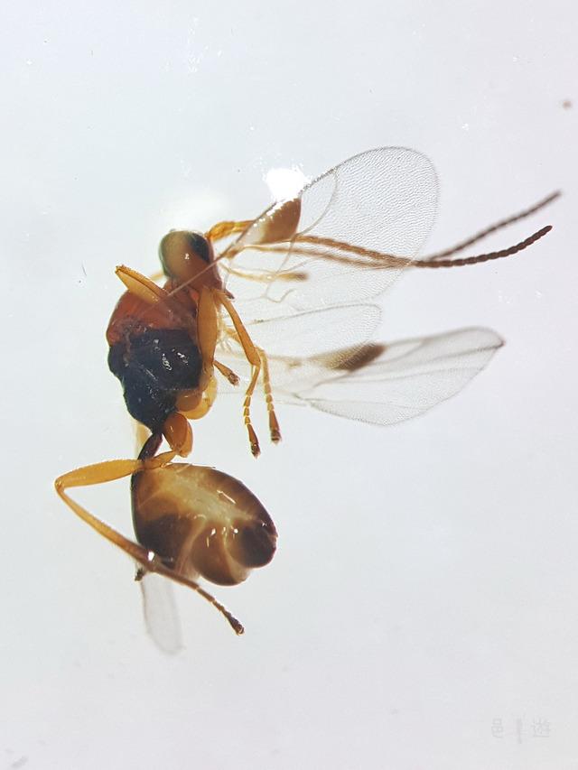 tabunEuphorinae