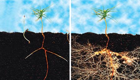 Mycorrhizae_BA