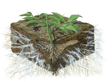 菌根菌の菌糸