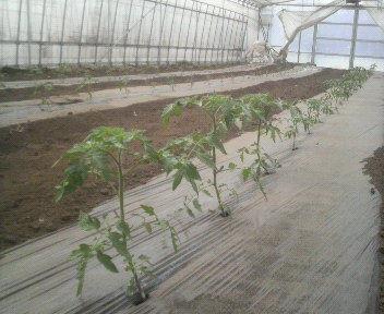 tomato4gatu30hi1