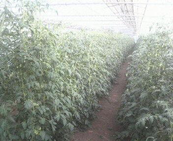 tomato2011070516370000
