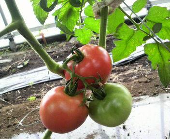 tomatodaiikak1