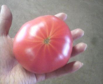 tomatodai
