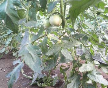tomatohakakimae1