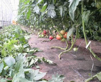 tomatositabakaki1