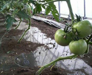 tomatohakaki1
