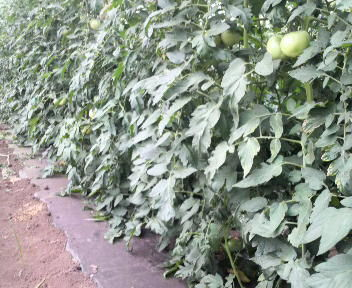 tomatositabakaki2