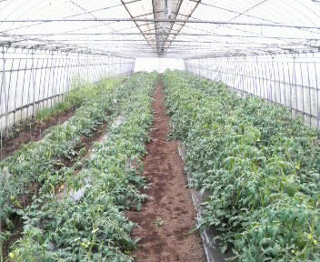 tomato6gatu161