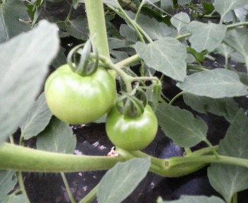 tomato6gatu162