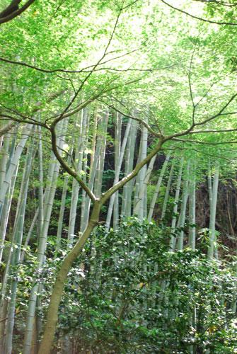瑞泉寺の竹林