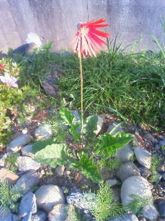 red flower6