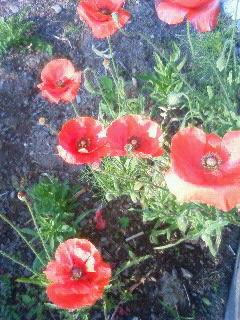 red flower4