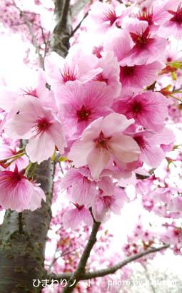 桜 陽光。