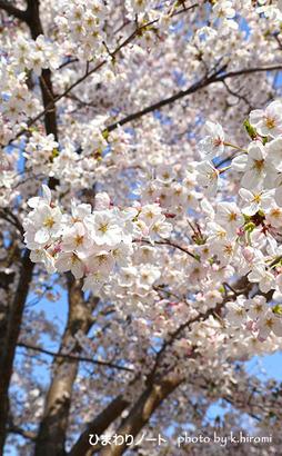 大阪城の桜。