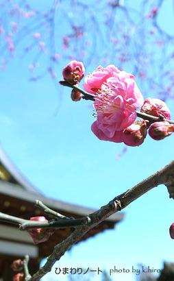北野天満宮の梅。