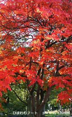 大阪城公園のハゼの木。