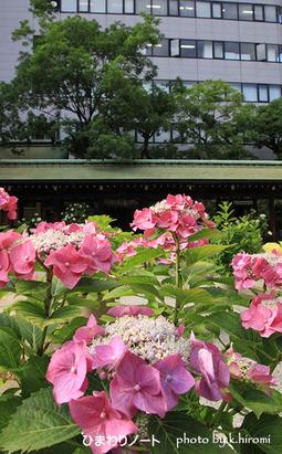 坐摩神社のアジサイ。