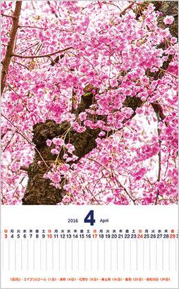 桜のカレンダー。