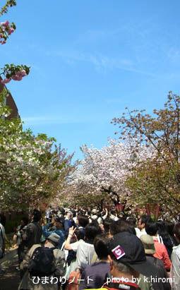 2012造幣局の桜。