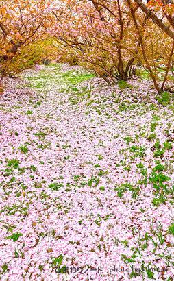桜のじゅうたん。