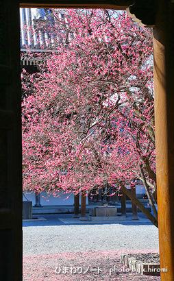 興正寺の梅。