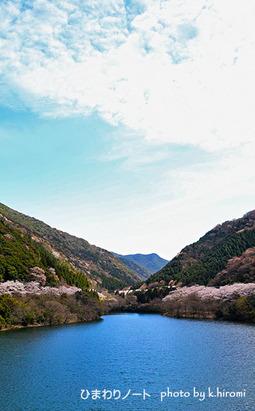 諭鶴羽ダムの桜。