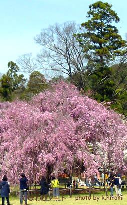 枝垂れ桜。