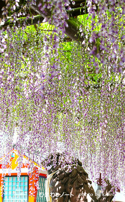 了徳院の藤の花。