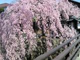 桜/1104172