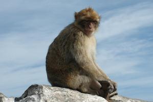 Barbary_Macaque