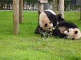 パンダ姉弟