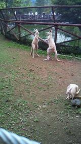 カンガルー/20120729