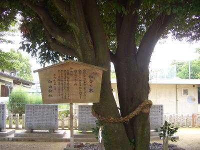白山神社にある和合の木