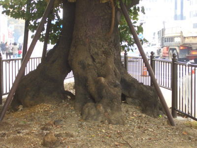 樹齢250年になる木