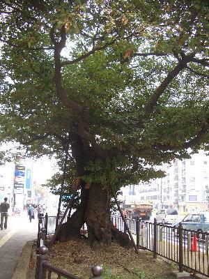 名古屋市中区にある御園座近くにある「御園のタブノキ」