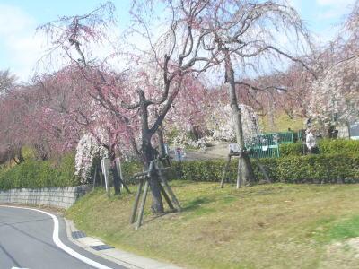 名古屋市守山区にある東谷山フルーツパークのサクラ