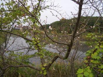 天白公園の桜の木