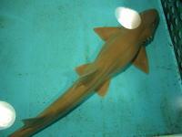 越前松島水族館のサメ