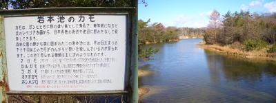 岩本池で1000羽以上のカモを見る