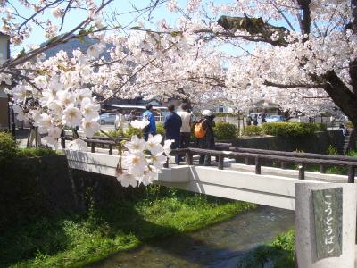 山口県での桜の名所!一の坂川