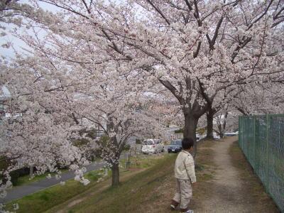 尾張旭市にある平池の桜