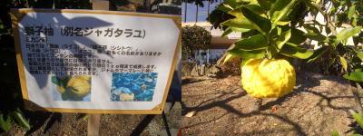 獅子柚(シシュズ)