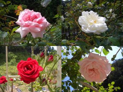 何種類ものバラ