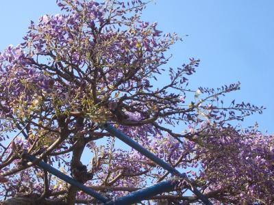 春日井市にある出川公園の藤の花